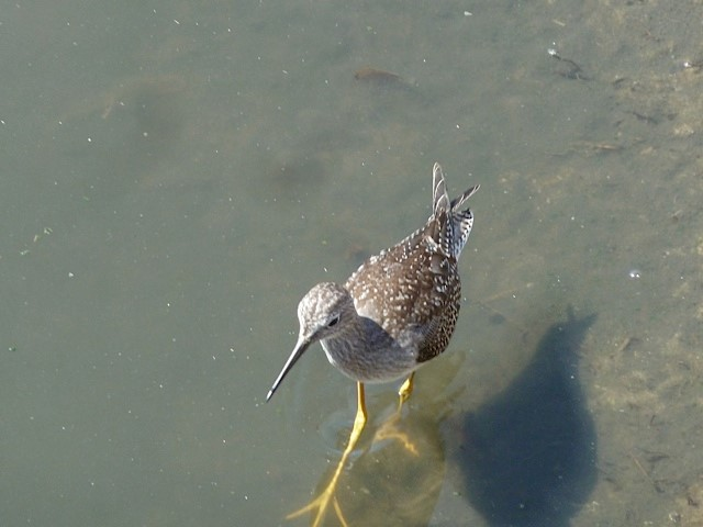 A greater yellowlegs sashaying along the shoreline