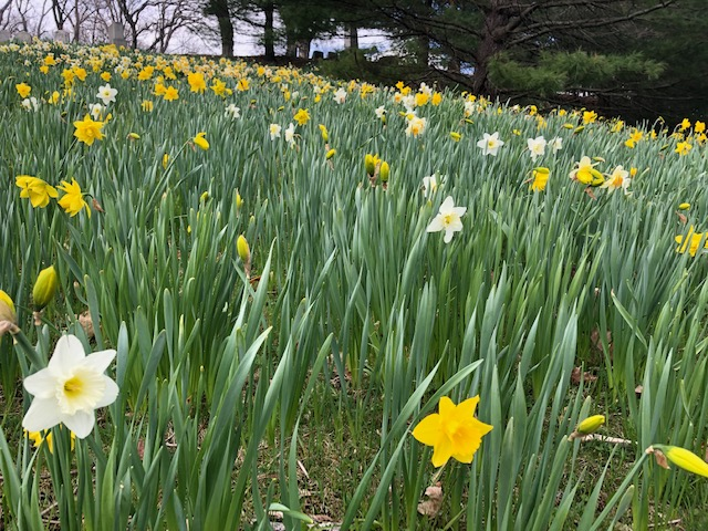 Daffodils at Laurel Hill
