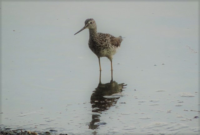Greater Yellowlegs (2)